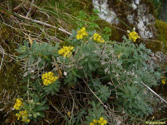 Alyssum spec. / Steinkraut-Arten
