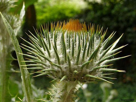 Onopordum acanthium - Eselsdistel