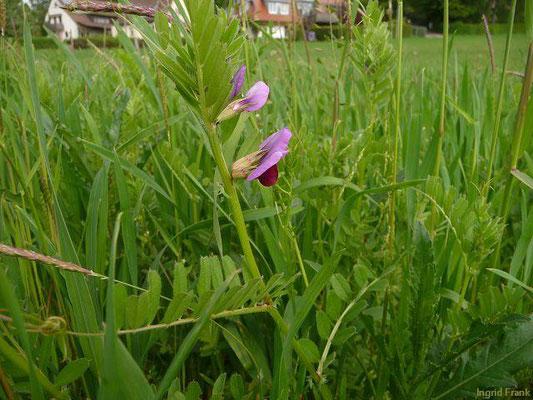 Vicia sativa ssp. sativa / Gewöhnliche Futter-Wicke