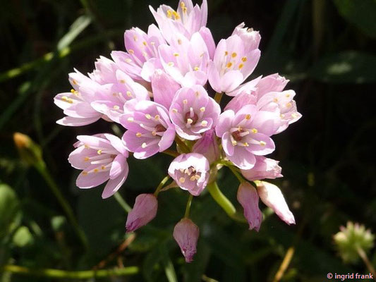 Allium roseum - Rosa Lauch