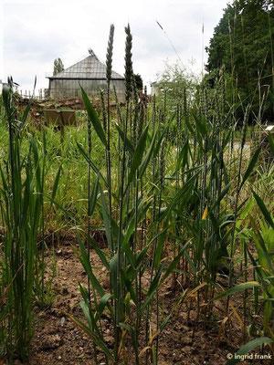 Triticum aestivum - Saat-Weizen