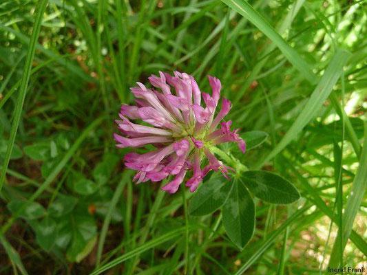 Trifolium medium / Mittlerer Klee