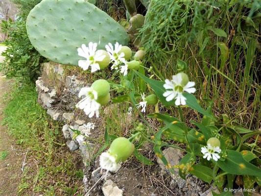 Silene vulgaris - Gewöhnliches Leimkraut ?