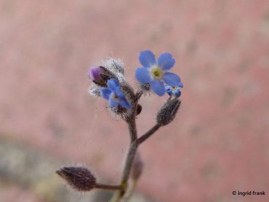 Myosotis ramosissima / Raues Vergissmeinnicht