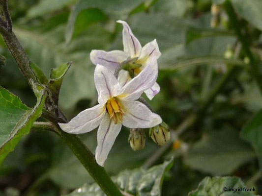 Solanum villosum - Gelbbeeriger Nachtschatten    VI-X