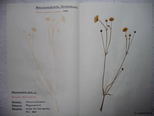 (10) Ranunculus acer - Scharfer Hahnenfuß