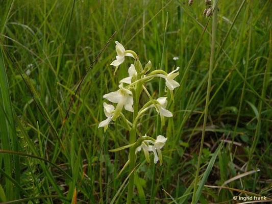 Platanthera chlorantha / Grünliche Waldhyazinthe