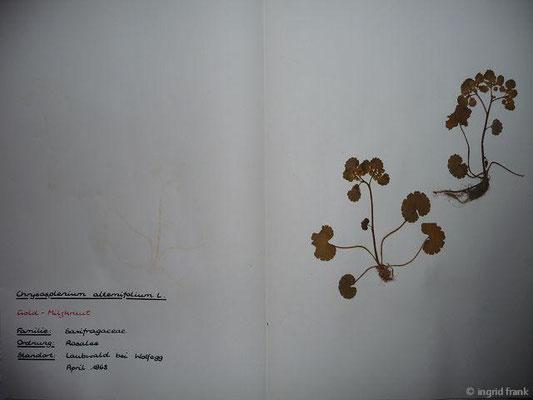 (16) Chrysosplenium alternifolium - Gold-Milzkraut