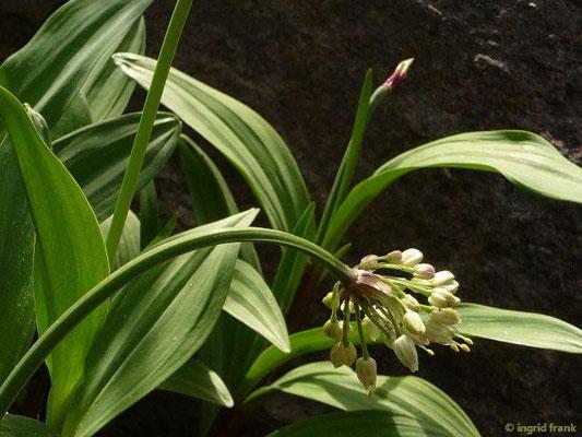 Allium victorialis -