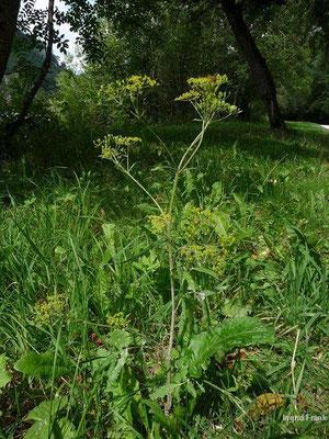 Pastinaca sativa ssp. urens - Brennender Pastinak