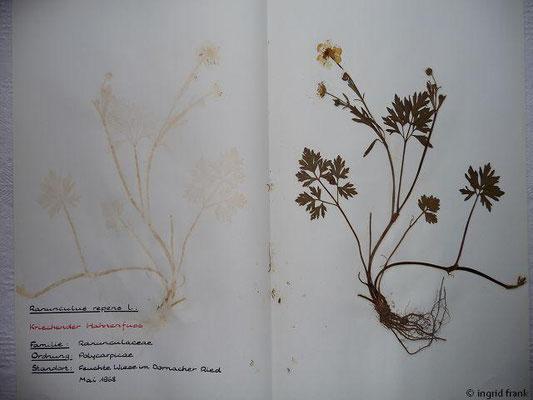 (11) Ranunculus repens - Kriechender Hahnenfuß