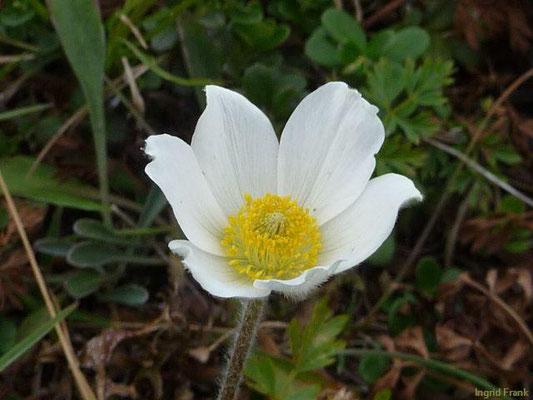 Anemone baldensis / Tiroler Windröschen    VI-VIII    (Kärnten)
