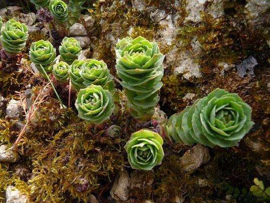 Rhodiola rosea - Rosenwurz