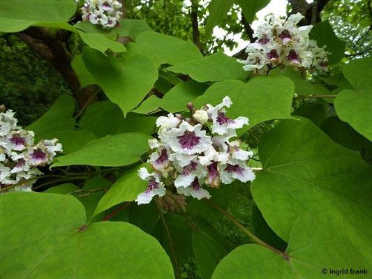Catalpa bignonioides - Gewöhnlicher Trompetenbaum     VI-VII