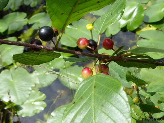 Rhamnus frangula - Echter Faulbaum