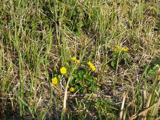 In der Streuwiese fallen vor allem die Sumpfdotterblumen auf