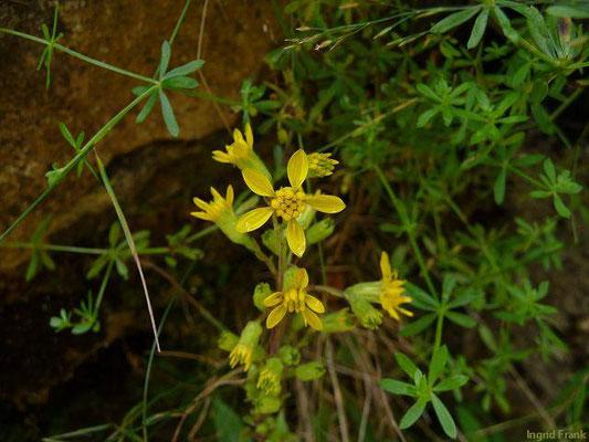 Solidago virgaurea ssp. minuta / Alpen-Goldrute    VII-IX