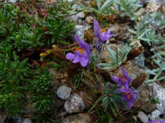 Linaria alpina - Alpen-Leinkraut