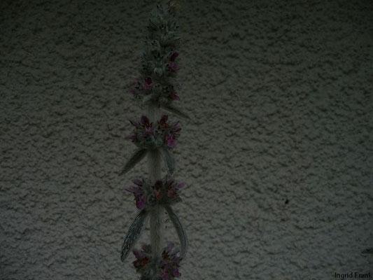 14.06.2010-Stachys byzantina - Wolliger Ziest, Lammohren