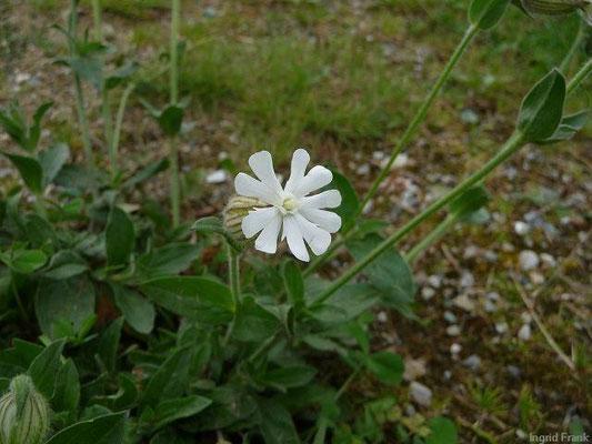 Silene latifolia - WeißeLichtnelke, Weiße Nachtnelke