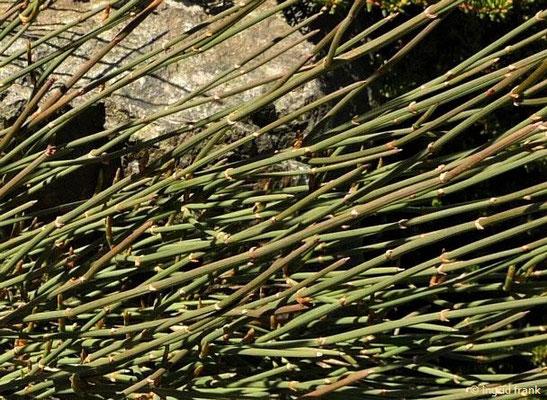 Ephedra distachya - Gewöhnliches Meerträubel