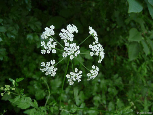 Torilis japonica - Gewöhnlicher Klettenkerbel