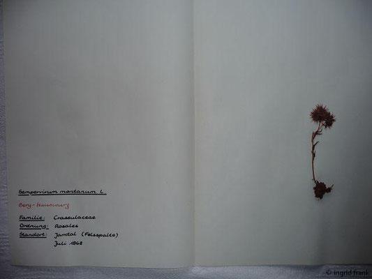 Sempervivum montanum / Berg-Hauswurz