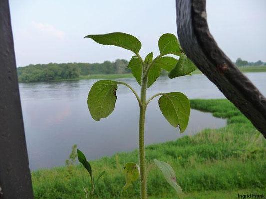 28.05.2010-Helianthus annuus - Gewöhnliche Sonnenblume