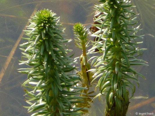 Hippuris vulgaris / Tannenwedel