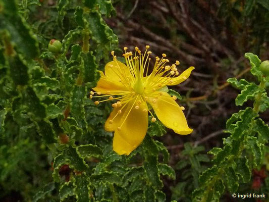 Hypericum balearicum - Balearen-Johanniskraut (Botanischer Garten Universität Heidelberg)