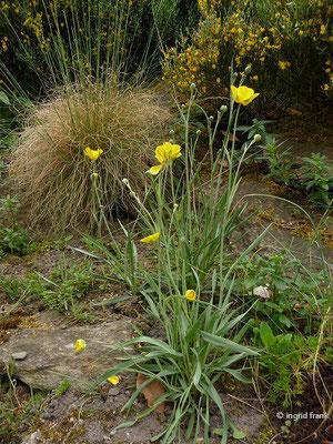 Ranunculus gramineus / Grasblättriger Hahnenfuß