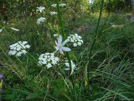 Anthericum ramosum / Ästige Graslilie