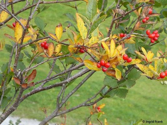 Sorbus chamaemespilus / Zwergmispel, Zwerg-Mehlbeere