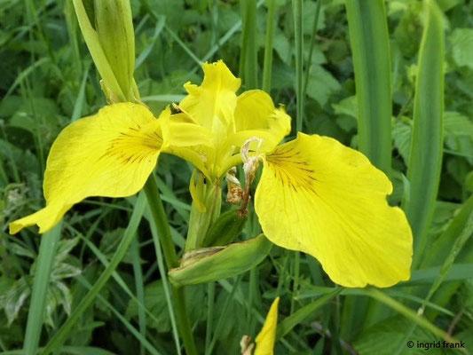 Iris pseudacorus - Wasser-Schwertlilie
