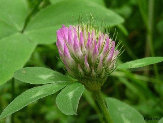 Trifolium pratense - Wiesen-Klee