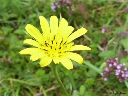 Tragopogon pratensis - Gewöhnlicher Wiesen-Bocksbart
