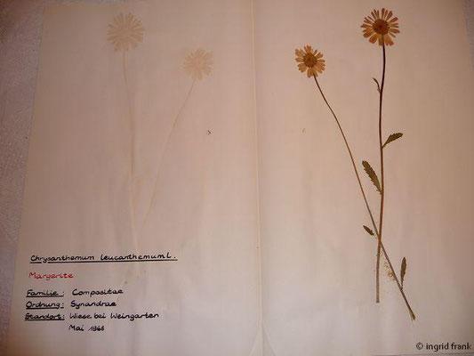(129) Chrysanthemum leucanthemum - Margerite