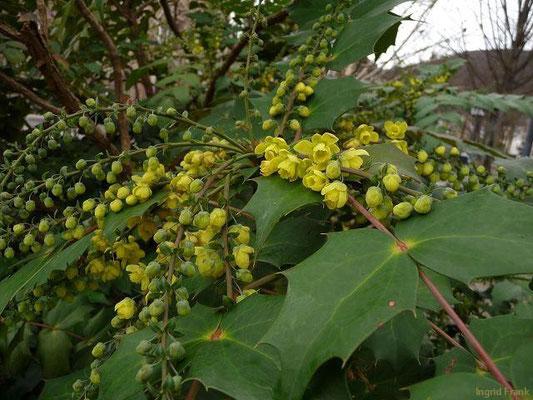 Mahonia japonica - Japanische Mahonie