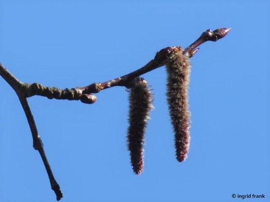 Populus tremula / Zitter-Pappel