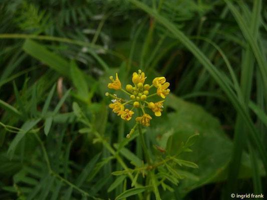 Rorippa sylvestris - Wilde Sumpfkresse
