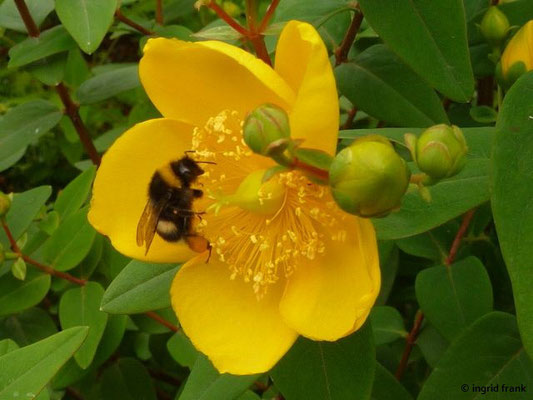 Hypericum grandifolium - Großblättriges Johanniskraut