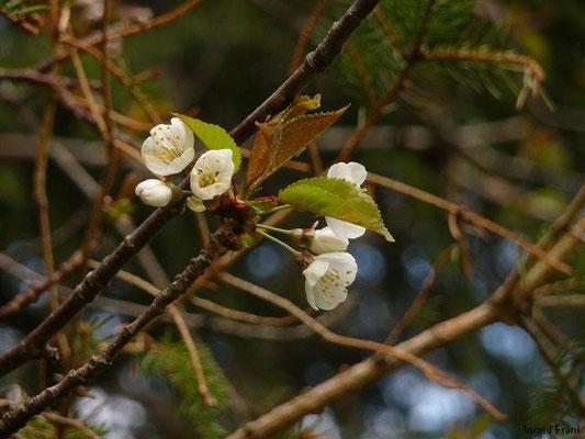 Prunus cerasifera - Kirsch-Pflaume