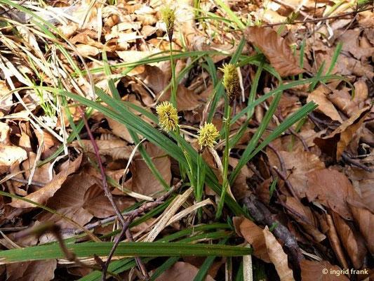 30.03.2011-Carex caryophyllea / Frühlings-Segge