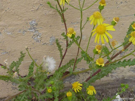 Senecio vernalis / Frühlings-Greiskraut    V-XI