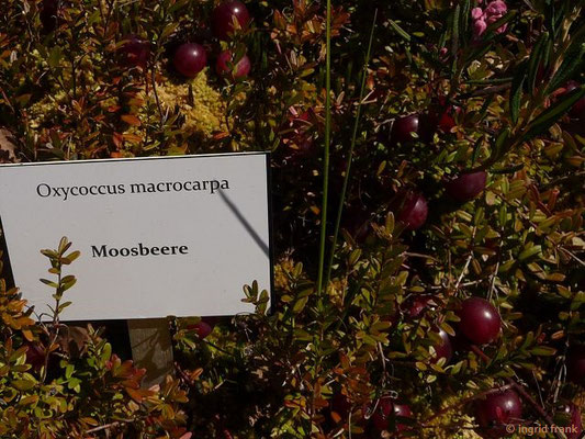 Vaccinium macrocarpon - Großfrüchtige Moosbeere, Krannbeere, Cranberry