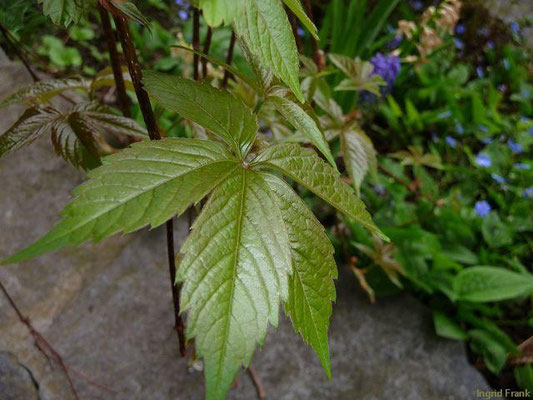 01.05.2010-Parthenocissus quinquefolia - Selbstkletternde Jungfernrebe