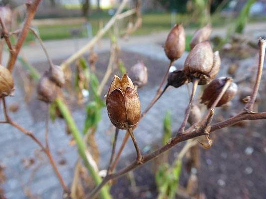 Nicotiana tabacum - Virginischer Tabak