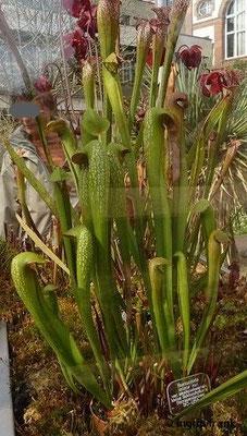Sarracenia minore - Kleine Schlauchpflanze