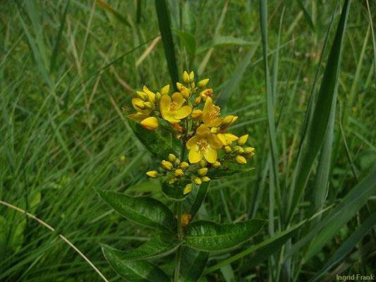 03.07.2011-Lysimachia vulgaris - Gewöhnlicher Gilbweiderich
