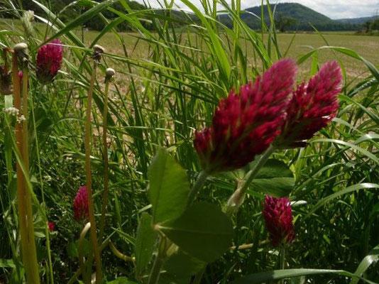 Trifolium incarnatum - Inkarnat-Klee